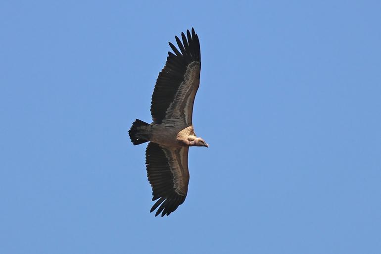 vautour de Rüppel en Éthiopie
