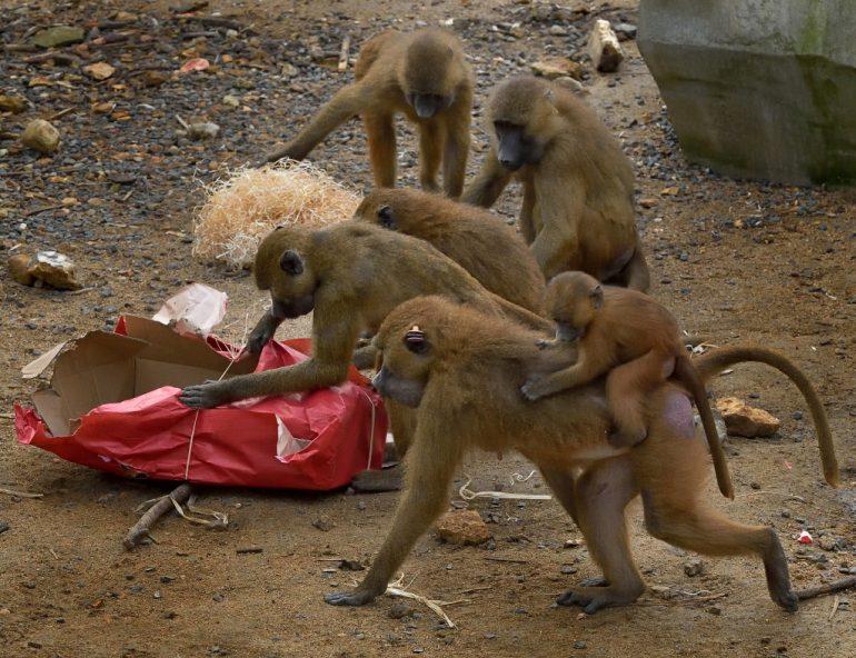 C'est Noël pour ces babouins du Parc zoologique de Paris ! ©F-G Grandin