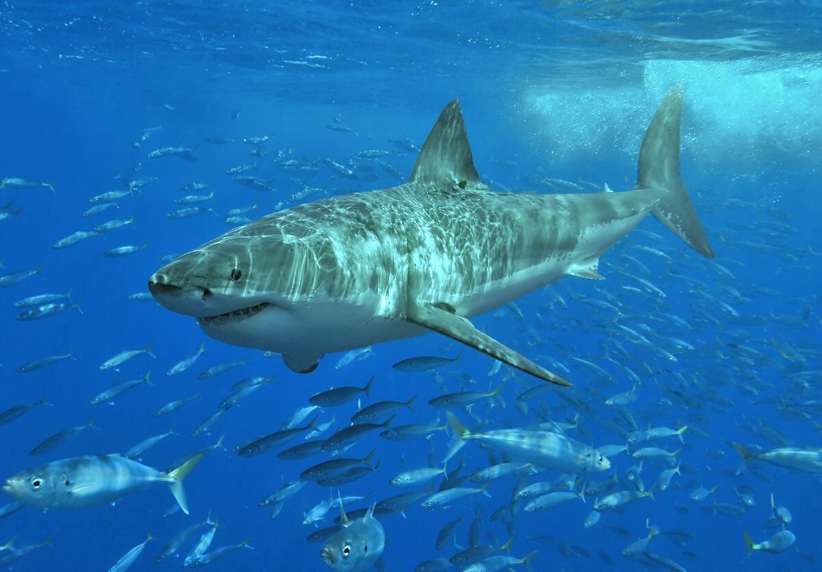 Au Mexique (île de Guadalupe), un Grand requin blanc de 3,5m de long nage calmement au milieu d'un banc de Fusiliers. Aucune agressivité envers le photographe. (© Terry Goss / Shark Research Comitee)
