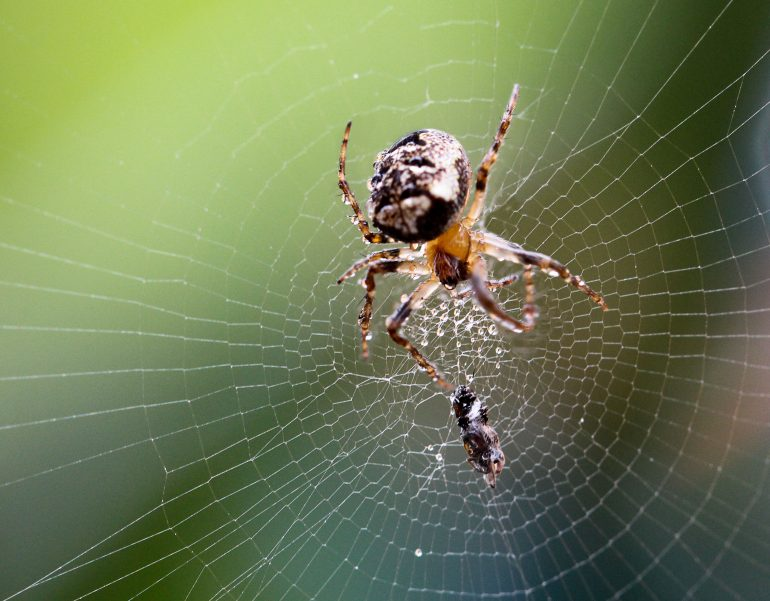 Araignée des fissures (Nuctenea umbratica) © Boedefeld/Adobe Stock