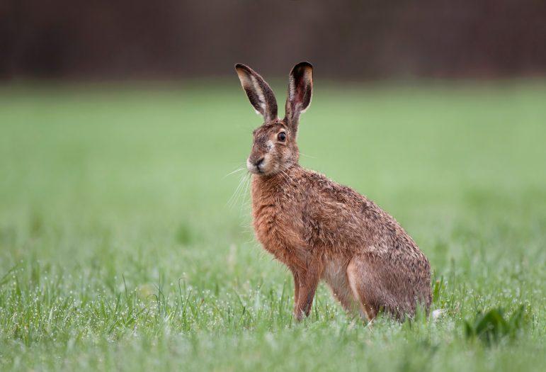 Est-ce un lapin ou un lièvre ..? © Soru Epotok/Adobe Stock