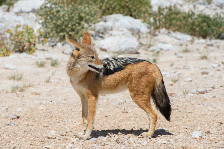 Chacal à dos noir (canis mesomelas) dans le parc national d'Etosha en Namibie © PJ Irawat/Adobe Stock