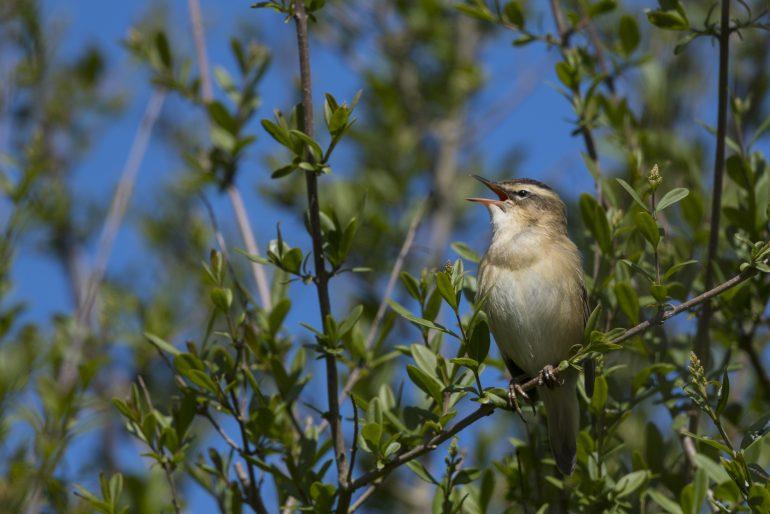 Phragmite des joncs en train de chanter, Parc Ornithologique du Marquenterre, Baie de Somme. © Alonbou/Adobe Stock