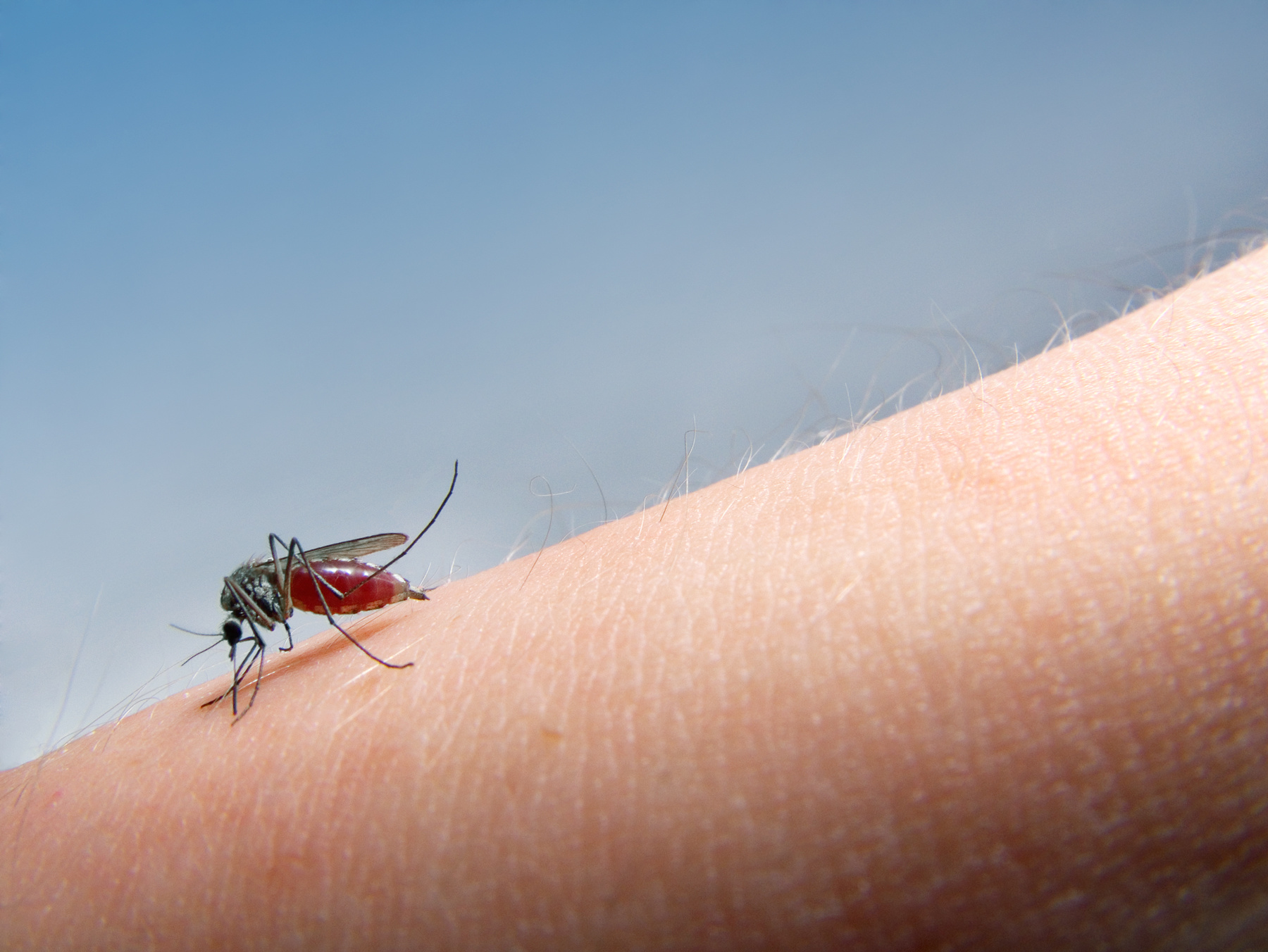 mosquito sucking blood © Stocksnapper/Adobe Stock