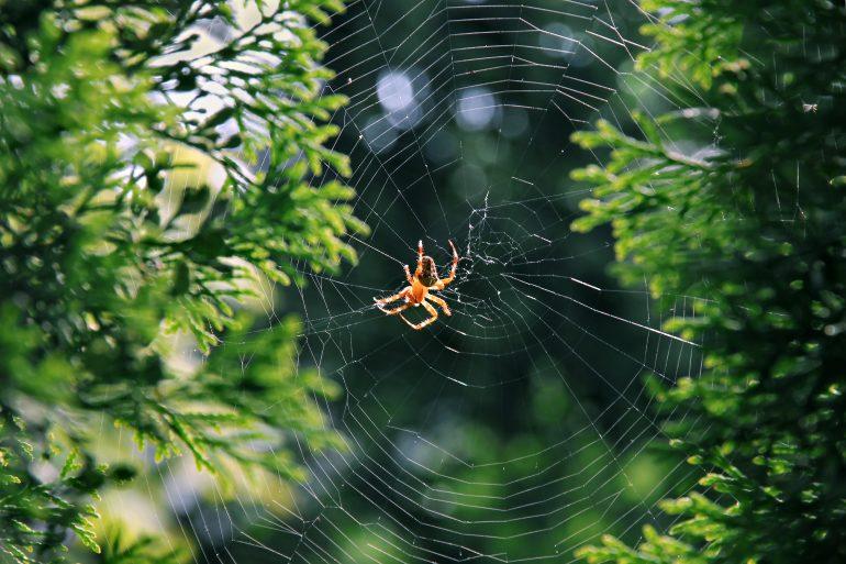 Araignée des jardins © Adobe Stock