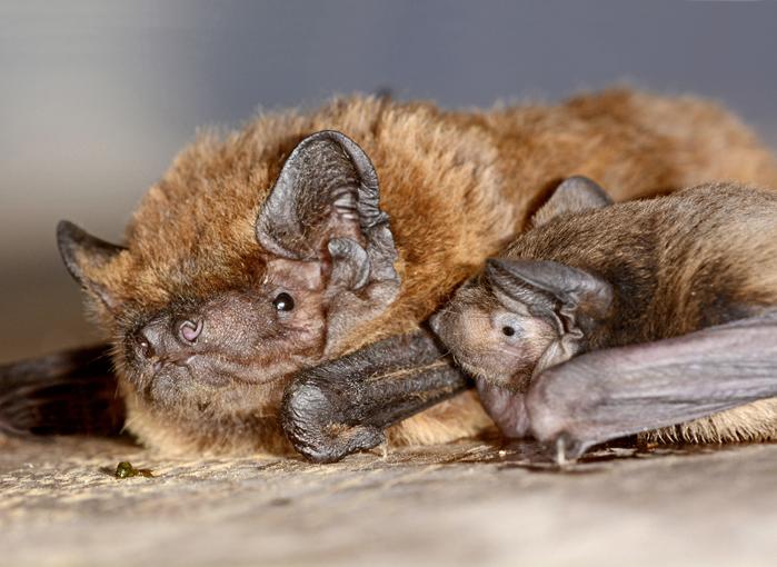 Une maman noctule de Leister et son petit ©Laurent Arthur/naturImages