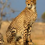 Cheetah (c) DUMA film 01