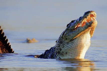 Crocodile du Nil au Parc national Kruger, Afrique du Sud. © mariswanepoel / Fotolia