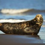 (DR) grey-seal male