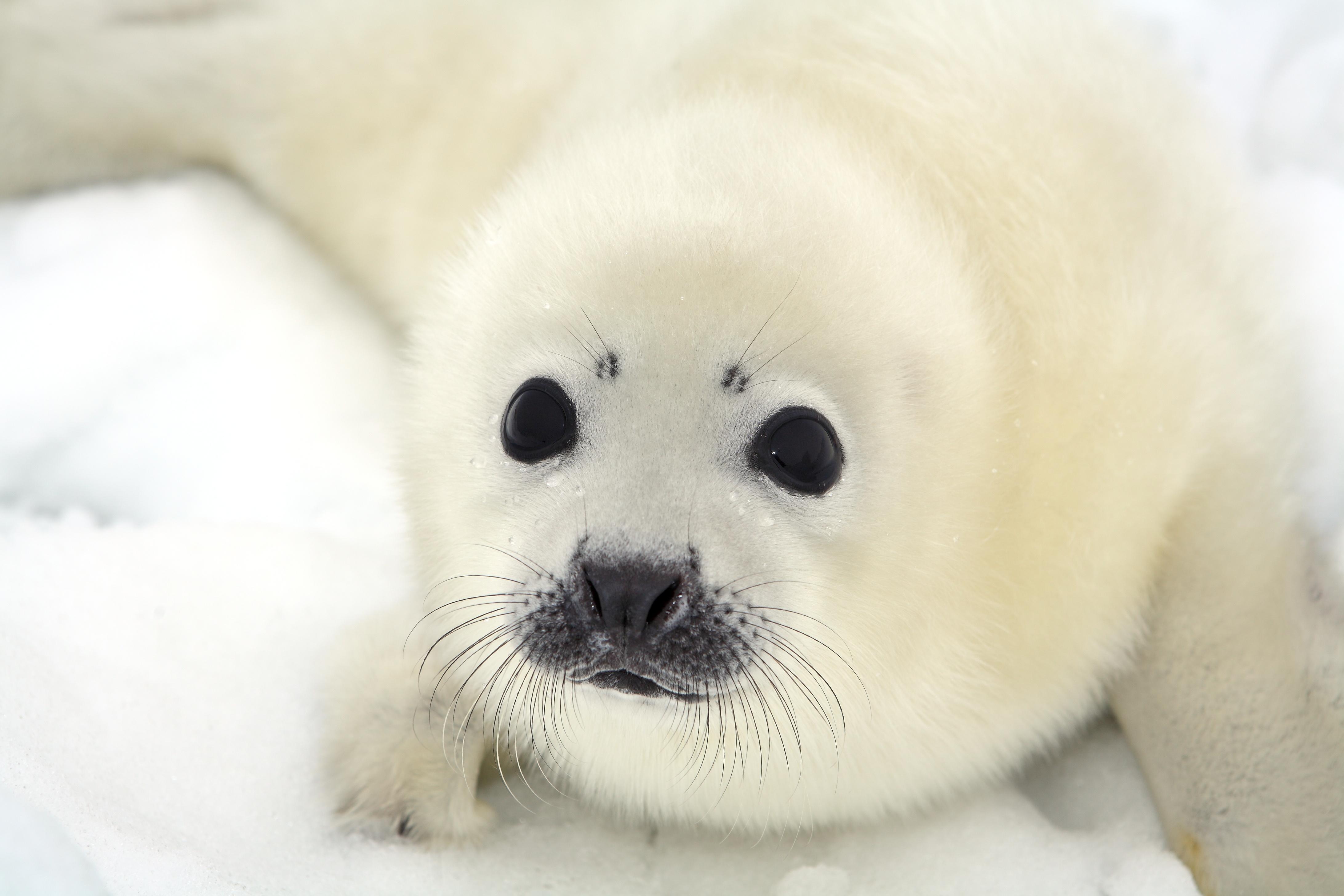 Baby Phoque pourquoi les bébés phoques ont-ils la fourrure blanche et pas leurs