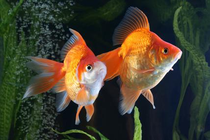 """Couple de poissons rouge, """"queue d'éventail"""". © M. Kijewski / Fotolia"""