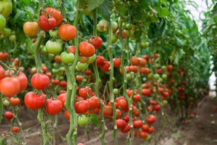 Culture de plants de tomates dans une serre. © MAKSUD / Fotolia