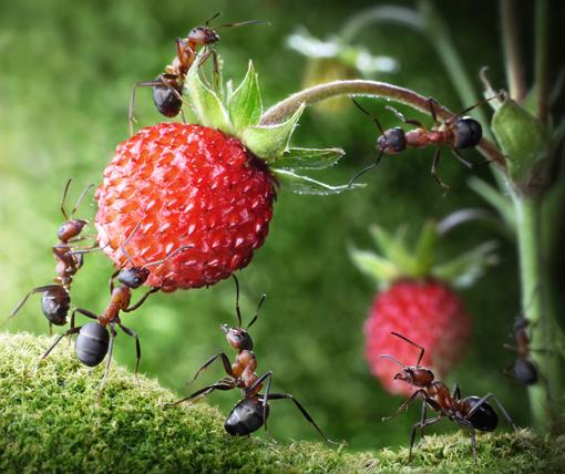 Fourmis rousses s'attaquant à une fraise des bois © Antrey / Fotolia