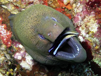 Murène géante dans son trou qui se laisse nettoyer la bouche par un labre. Mer Andaman (Thaïlande). © Silke Baron