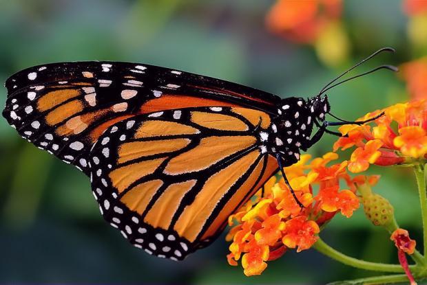 Un papillon monarque qui butine (© Fotolia)