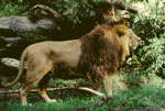 Panthera_leo_persica_male
