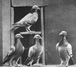 Pigeons_voyageurs