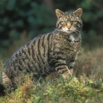 Scottish-wildcat (c) Wild Scotland .org