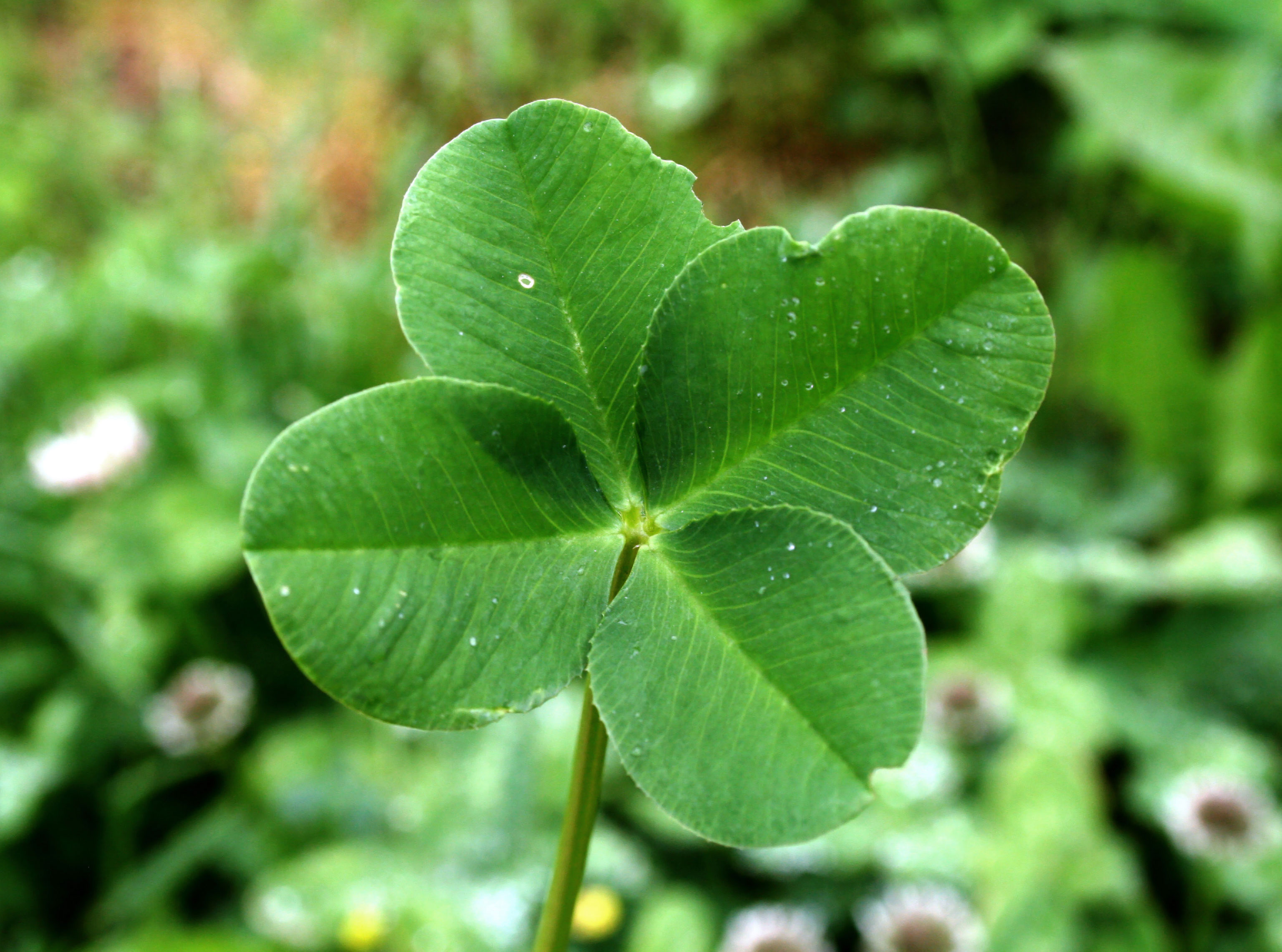 Why do some clovers have four leaves? Maxence, 8 years old ...