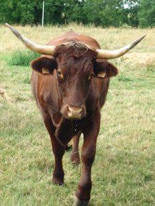 Vache_Oudeuil