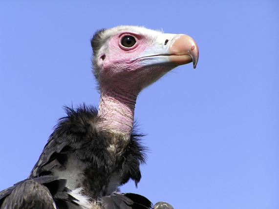 Le vautour à tête blanche en Afrique. © Franck Wouters