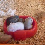 bebes_hamsters