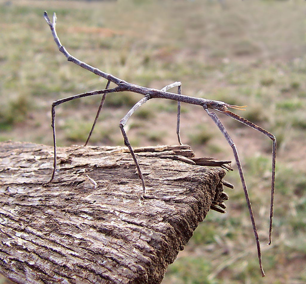 © DR - Ce phasme australien Ctenomorpha chronus, peu mesurer 18 cm de long