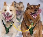 chiens-langues