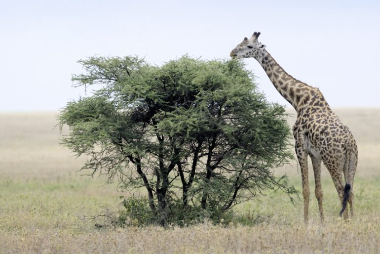 Une girafe mangeant un acacia, en Afrique (© André Gilden)