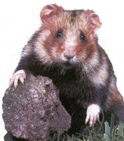 grand_hamster