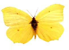 male-papillon-citron