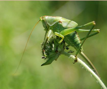 Je vous prÈsente une sauterelle verte, je pense une cymbaliËre en raison de son trait marron sur le dos, sur une fleur en graine. J'espËre que ce clichÈ dans les tons verts vous plaira.