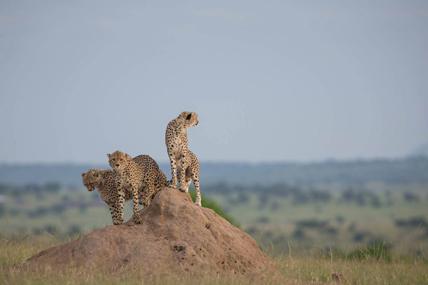 Perchée sur une termitière, la famille guépard guette les herbivores dans la savane. © Make it Kenya