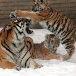 tigres_Dave Pape