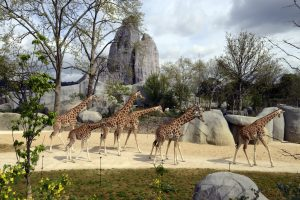 Groupe de girafes au parc zoologique de Paris. ©mnhn