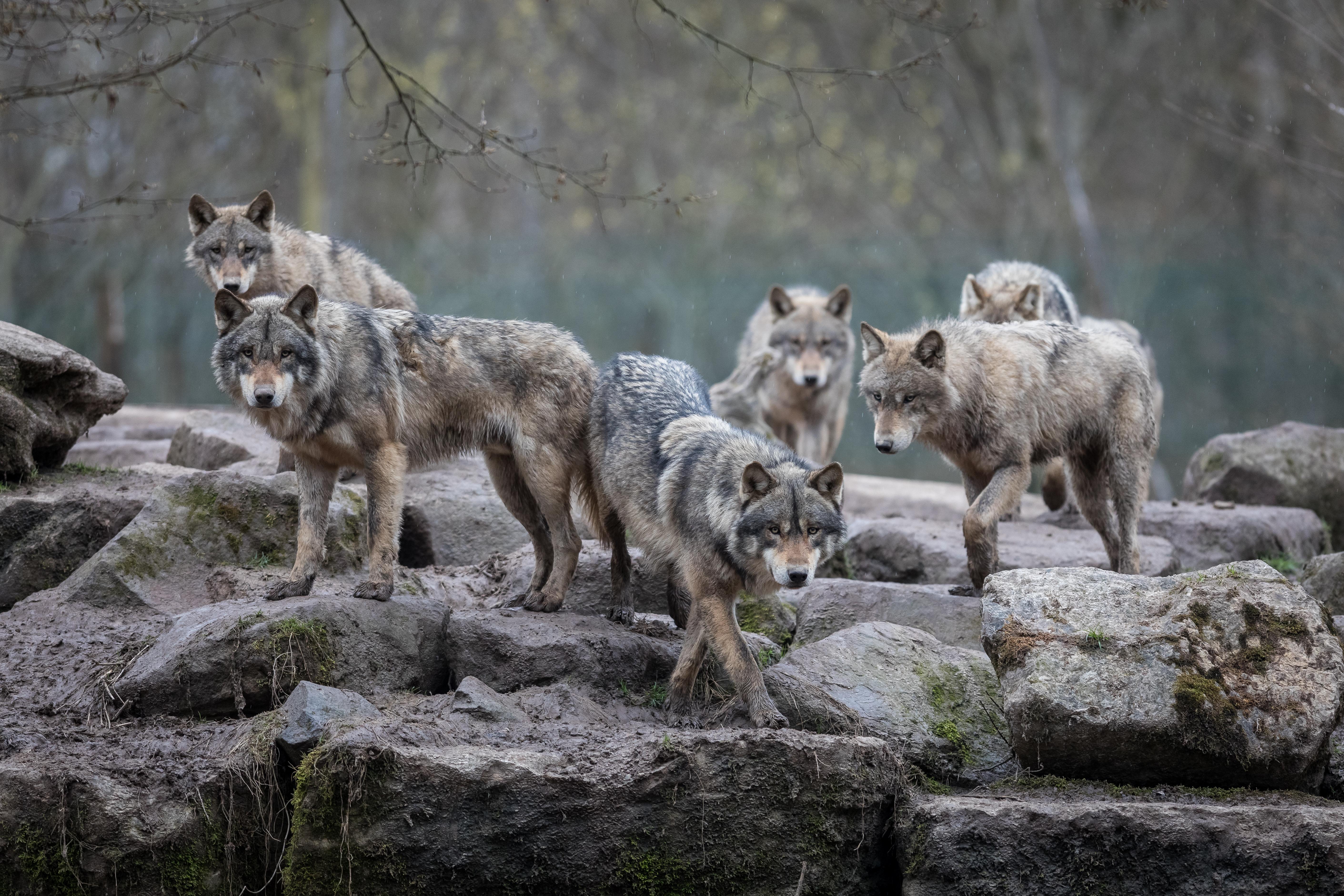 Loups gris (Canis Lupus) en meute © Alexandre / Adobe Stock