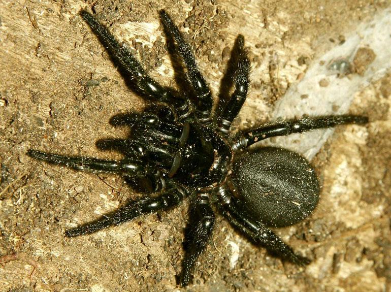 L' araignée Atrax robustus © Wikipedia
