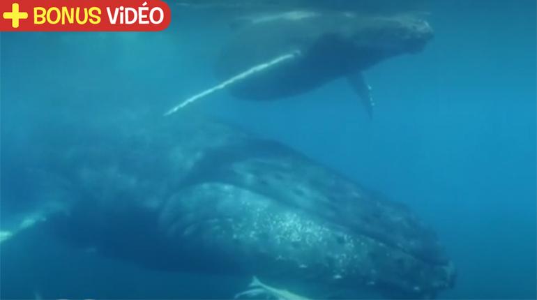 https://www.francetvinfo.fr/sante/decouverte-scientifique/les-fascinants-chants-des-baleines-a-bosse_3164017.html